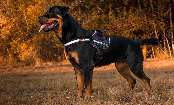 working dog harness by Ezydog on a Rottweiler